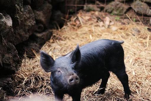 Hình 4: Nằm mơ thấy lợn đen