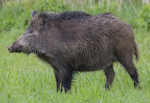 Hình 3: Ngủ mơ lợn rừng truy bắt