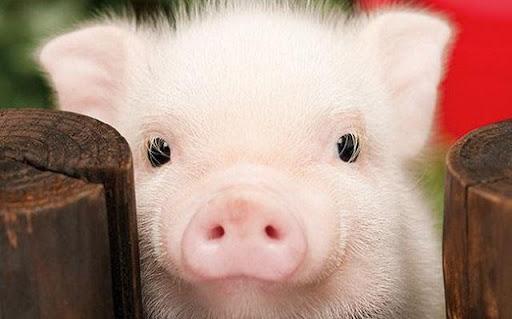 Hình 2: Ngủ mơ thấy lợn trắng
