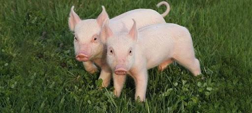 Hình 1: Mơ thấy lợn đánh con gì phú hợp và ưng ý nhât?